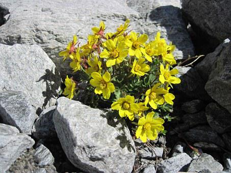 Rock, Yellow, Flowers, Mountain, Spring, Tenacity