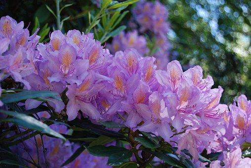 Azalea, Purple, Flower, Floral, Rhododendron, Close-up