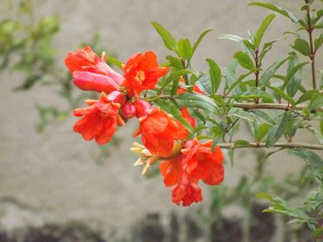 Flower, Red, Pomegranate, Flowers, Red Flower