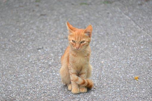 Kitten, Orange, Cat, Little Tiger, Red Fur, Homeless