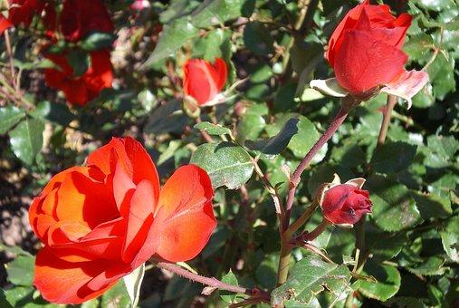 Roses, Gran Canaria, Garden