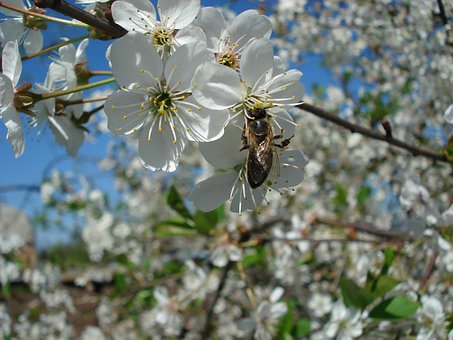 Bee, Flowering Tree, Cherry Blossoms, Spring
