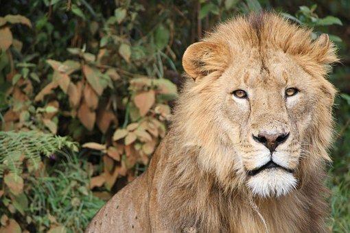 Lion, Tanzania, Africa, Wild, Wildlife Wildlife, Safari