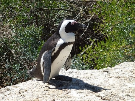 African, Penguin, South Africa, Animal, Bird