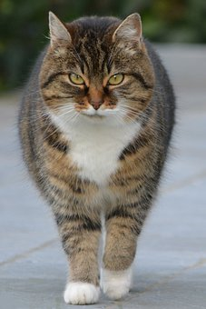 Cat, Animal, Pet, Animals, Tigercat, Cats