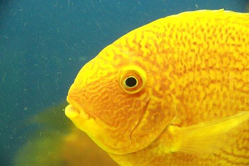Fish, Yellow Fish, Undersea World, Water, Aquarium