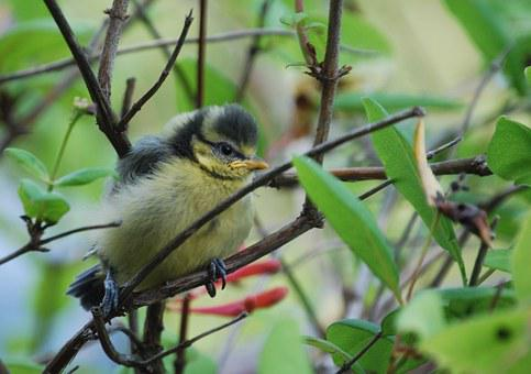 Tit, Chicks, Young, Bird, Cute, Small, Animal, Fluffy