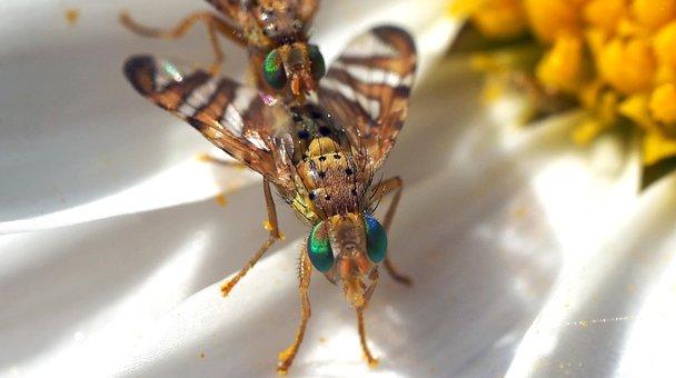Bohrfliegen, 8 Mm, Green Eyes, Copulation, Insect
