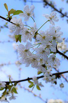 Cherry Blossom, Cherry Tree, White, Cherry, Spring
