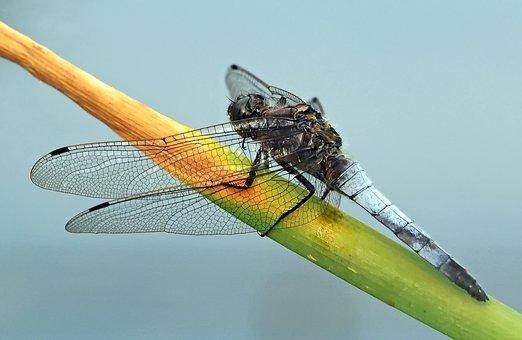 Flat Belly Dragonfly, Libellula Depressa, Males