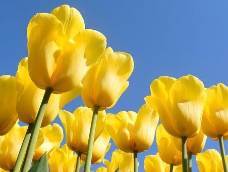 Netherlands, Tulips, Keukenhof, Tulip, Spring, Holland