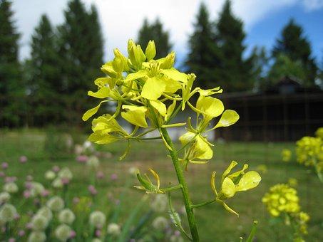 Rape Seed Flower, Summer, Firs, Sky, Nature