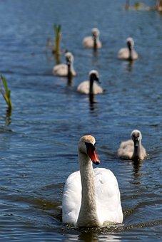 A Swan-shipun, Swan, Cygnus High Color, Bird, Chicks