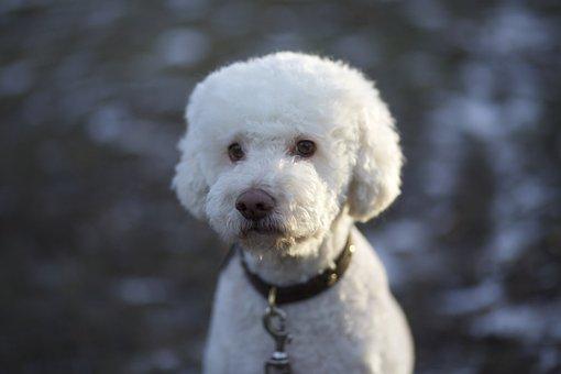 Dog, Truffle Dog, White, Fluffy, Animals, Pet, Pets