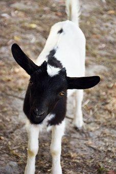 Goat, Kids, Lower Short, Horn, Black, White, Animal
