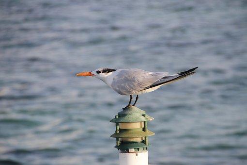 Tern, Seabird, Bird, Nature, Wild, Water, Ocean, Beak