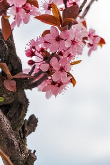 Mandulavirág, Almond, Flowers, Spring, Flower