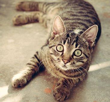 Cat, Animal, Cute, Pet, Feline, Kitty