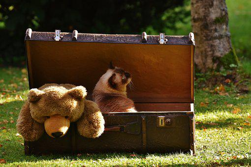 Luggage, Antique, Teddy, Cat, British Shorthair