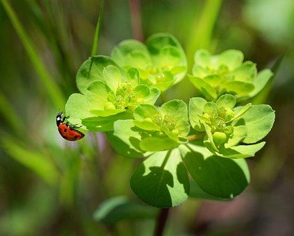 Ladybug, Beetle, Insect, Ladybird, Nature, Macro