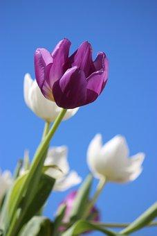 Flower, Tulip, Field, Purple Flower, Bloom, Blossom
