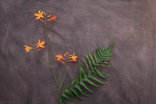 Crocosmia, Flower, Schwertliliengewaechs, Blossom