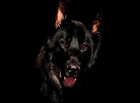 Alsatian, Black, Eyes, German Shepherd, Canine, Dog