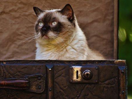 Luggage, Antique, Cat, British Shorthair, Funny