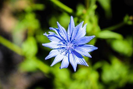 Flower, Blue, Centaurea Cyanus, Weed, Plant