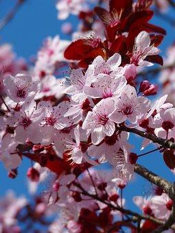 Almond Blossom, Cherry Blossom, Japanese Cherry Trees