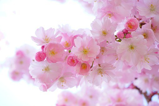 Pink, Cherry Blossoms, Flowers, Branch, Pink Flowers