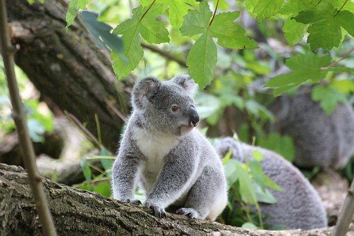 Koala, Cute, Tree, Zoo, Animal, Koala Bear, Purry