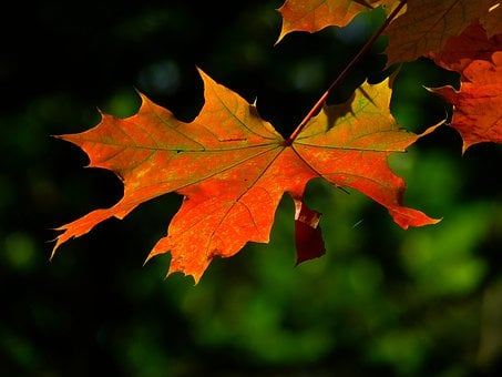 Leaf, Maple, Autumn, Fall, Branch, Tree, Plant, Flora