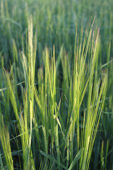 Corn, Grass, Field, The Cultivation Of, Agriculture
