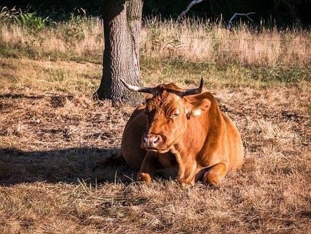Cow, Beef, Concerns, Tree, Rest, Digest, Pasture, Graze