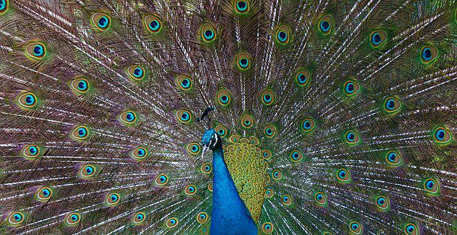 Peacock, Feather, Beat Rad, Blue, Green, Iridescent
