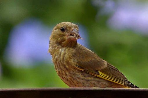 Bird, Greenfinch, Young, Carduelis Chloris, Foraging