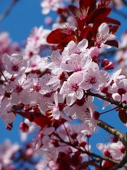 Almond Blossom, Cherry Blossom, Japanese Cherry Trees