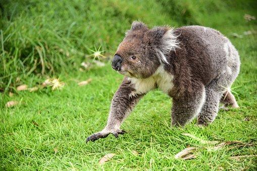 Bear, Koala, Animal, Australia, Nature