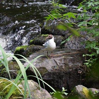 Laughing Gull, Larus Ridibundus, White Bird, Black Head