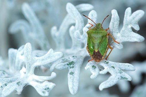 Green Stinkwanze, Insect, Nature, Palomena Prasina