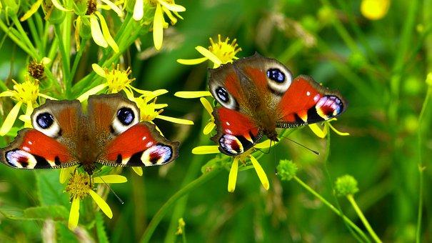 Butterflies, Insect, Nature, Peacock Butterflies