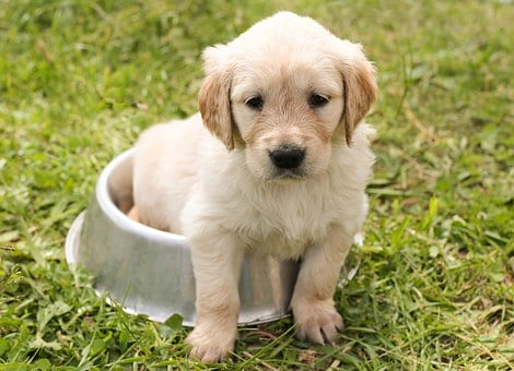 Puppy, Golden Retriever, Dog, In The Free, Young, Pet