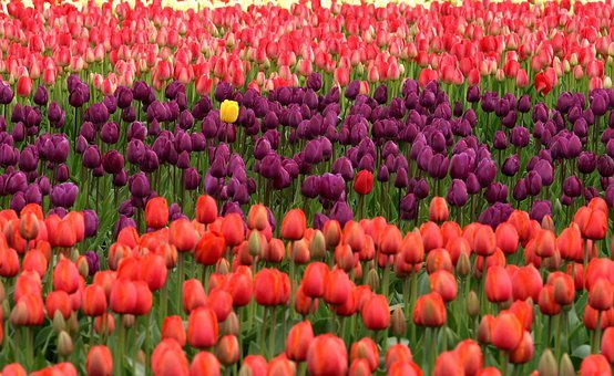 Tulips, Flowers, Red, Purple, Field, Many, Standing Out