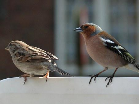 Sparrow, Bird, Fauna, Feather, Chaffinch, Quill