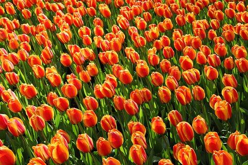 Tulips, Tulip, Orange, Red, Background, Wallpaper