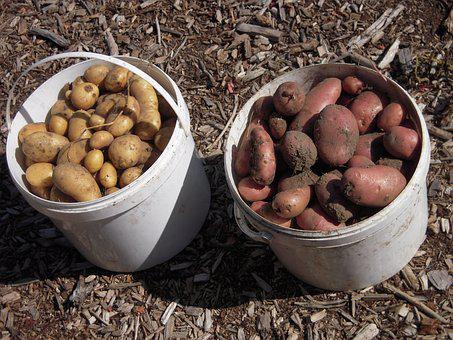 School Garden, Potatoes, Harvest
