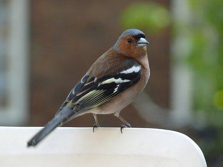 Sparrow, Bird, Fauna, Feather, Chaffinch, Quill
