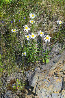 Daisy, Nature, Flower, Plant, Stone, Beautiful