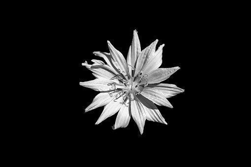Flower, Blue, Centaurea Cyanus, Cornflower, Weed, Plant